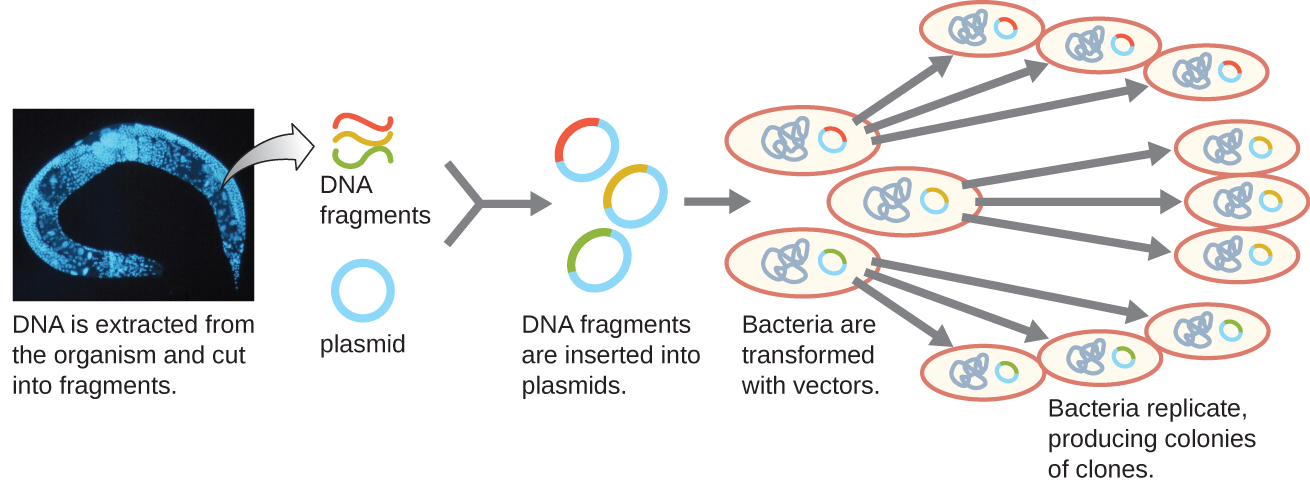A diagram showing the generation of a genomic library. The diagram begins with DNA being extracted from the organism (in this case a worm) and cut into fragments. The DNA fragments are then each inserted into a different plasmid. This produces many fragments each with a different insert from the genome. Bacteria are then transformed with these vectors. Each bacterium replicates producing colonies of clones each containing a single DNA fragment from the original organism.