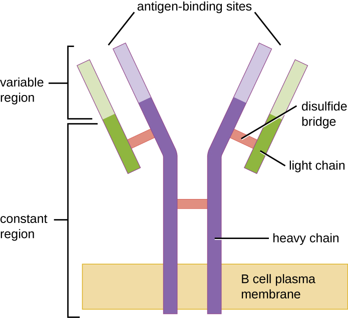 A B cell plasma membrane has two long rectangles spanning it; these form a Y shape. Two shorter rectangles sit on the outside of the upper portion of the Y. The region spanning the membrane and half-way through the bars of the Y is the constant region. The upper region is the variable region which has the antigen binding sites. The long rectangles are the heavy chain. The shorter rectangles are the light chains. Multiple disulfide bridges hold the constant region together.